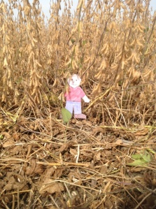 Flat Aggie visits soybean harvest.