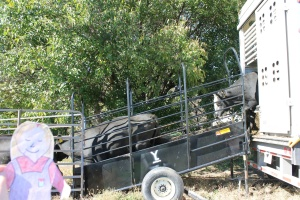 Unloading cows