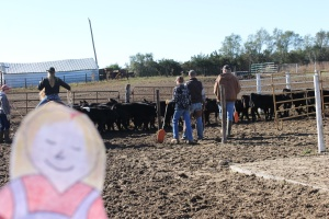 sorting cows and calves